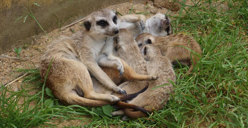 Zoo Zájezd - surikaty